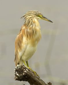 """Squacco Heron is a small heron, 17-18"""" long, of which the body is 8-9"""" , with 31.5"""" to 36"""" wingspan. It is of Old World origins, breeding in southern Europe and the Greater Middle East"""