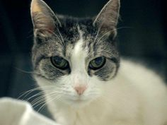 NYC. TO BE DESTROYED 5/1/14 Brooklyn Center  My name is PANDA. My Animal ID # is A0996354. I am a female white and gray tabby domestic sh mix. The shelter thinks I am about 12 YEARS old.  I came in the shelter as a OWNER SUR on 04/11/2014 from NY 11412, owner surrender reason stated was OWNER DIED. I came in with Group/Litter #K14-173567.
