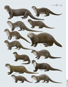Various otters