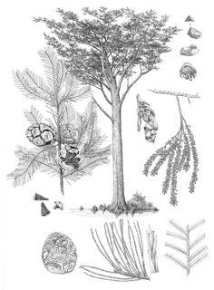 Taxodiumdistichum - botanical art of Aljos Farjon.