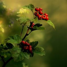 """resimhobi: """" herbaria: """" Hawthorn (NL: Meidoorn) (alternative medicine for the heart) (by Gerben) """" autumn """" The Brambles, Celtic Tree, Deciduous Trees, Parcs, Fantasy Forest, Dream Garden, Hedges, Botany, Trees To Plant"""