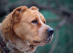 perfect head of alabai dog