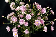 Find help & information on Symphyotrichum novi-belgii 'Fellowship' Michaelmas daisy 'Fellowship' from the RHS