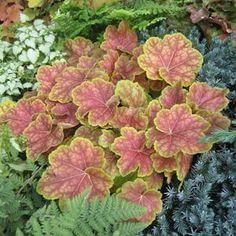 Heuchera 'Tiramisu' -- Coral Bells