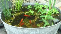Garden Pond, Water Garden, Succulent Arrangements, Succulents, Mini Pond, Small Water Features, Goldfish Pond, Galvanized Buckets, Small Ponds