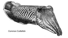 Common!?! Ha!  Is any Cuttlefish really common?