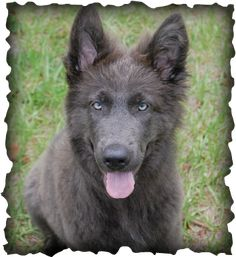 blue bay shepherd   Jordan is a solid blue, purebred German Shepherd from Legend of ...