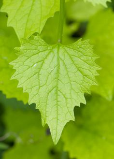 Jack by the hedge, Alliaria petiolata aka Garlic Mustard - older leaves are more diamond-shaped.