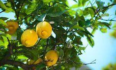 Limoni in vaso, come curarli. Tutti i segreti per una pianta stupenda   I sempreverdi