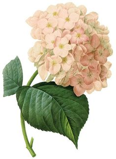 Vintage hydrangea illustration The site has many great vintage illustrations and posters. It's in Spanish, but google translate.
