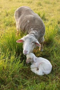 Doting Ewe - caring for her precious lamb