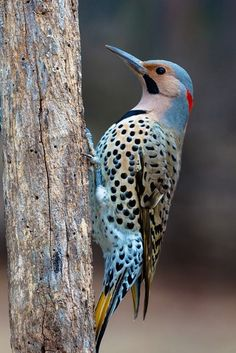 The northern flicker (Colaptes auratus) is a medium-sized bird of the woodpecker family. It is native to most of North America, parts of Central America, Cuba, and the Cayman Islands, and is one of the few woodpecker species that migrate. Pretty Birds, Love Birds, Beautiful Birds, Animals Beautiful, Birds 2, Small Birds, Beautiful Pictures, Exotic Birds, Colorful Birds