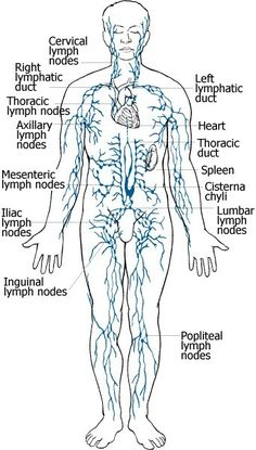 The Lymphatic System- What It Is, And Its Parts...