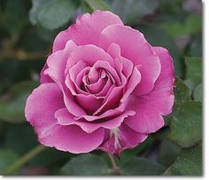 Angel Face - Roses - Heirloom Roses the MOST heavenly scented rose on the planet!