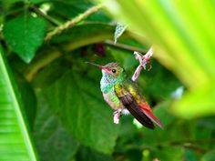 Ein farbenfroher Kolibri bei einer Dusche im Morgen-Tau.