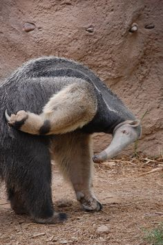 Giant Anteater scratching an itch on its butt. (by IsabellaRoseHope on DeviantArt) Animal Magic, Animal 2, Animals And Pets, Funny Animals, Cute Animals, Armadillo, Tier Fotos, All Gods Creatures, Zoology