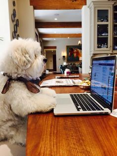 So how do I get to the Coton dating site? Cute Funny Animals, Cute Baby Animals, Funny Dogs, Fluffy Puppies, Cute Dogs And Puppies, Doggies, Coton De Tulear Puppy, Bichon Dog, Teddy Bear Dog