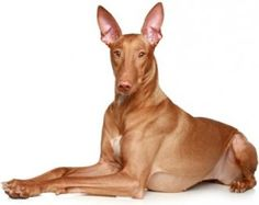 The 11 Most Expensive Dog Breeds