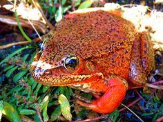 Spercale morph Red-leg Frog, Rana aurora draytonii by vabbley, via Flickr