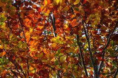 Kolorowa podhalańska jesień. Buki w barwach jesieni. Czerwone i żółte jesienne liście buka. Jesienne kolorowe drzewa liściaste. Złota polska podhalańska i tatrzańska jesień.