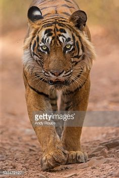 Stock Photo Bengal Tiger Hunting In India