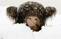 highland cows - Google Search I LOVE these cows! I am determined to find them locally & take pix!