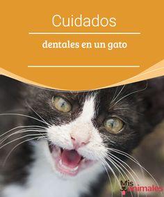 Cuidados dentales en un gato Preservar la salud de tu mascota es muy importante. En este artículo encuentra toda la información que necesitas para los cuidados dentales de tu gato. #cuidados #dientes #gatos #salud