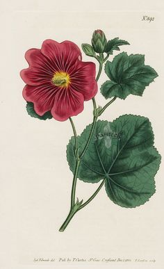 Hollyhock #892; Antique Print from William Curtis Botanical Magazine 1787-1839