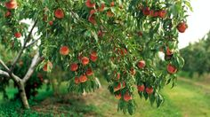 My dream backyard has fruit trees - peaches, peacharines, nectarines, plums, apricots, limes and lemons.