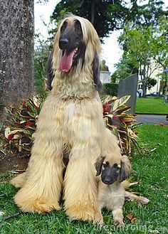 Afghan hound puppy and father by Pixbilder, via Dreamstime