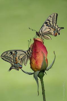 ~~Sutter's gold butterflies by Santiago M. C.~~