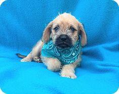 Burbank, CA - Pug/Skye Terrier Mix. Meet Henry, a puppy for adoption. http://www.adoptapet.com/pet/16023979-burbank-california-pug-mix