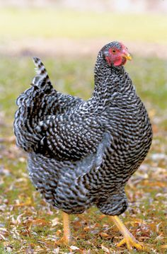 Barred Rock - dual purpose, all weather, moderate broodiness, calm, good strong first time chicken, high egg producer of large brown eggs.