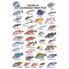 1000 images about scuba on pinterest scubas scuba for Caribbean reef fish