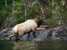 Elk | Bull Elk Swimming Coeur d'Alene Lake in Idaho