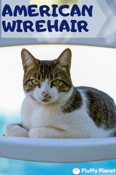 31 American Wirehair Cat Ideas In 2021 American Wirehair Cats Cat Breeds
