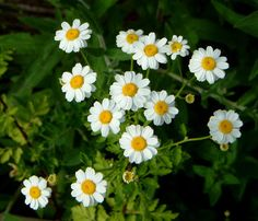 27 Medicinal Plants Worth Your Garden Space - this one is Feverfew- just planted under tree (further research) Foot Remedies, Herbal Remedies, Natural Remedies, Healing Herbs, Medicinal Plants, Plants Under Trees, Healthy Holistic Living, Wild Edibles, Plantation
