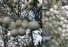Leucocarpa - The unique White Olives from Italy Magna Graecia, Italian Olives, In Ancient Times, Olive Tree, Unique Colors, Greece, Kai, Fruit, Biology