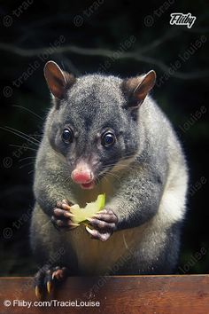 File of the Day July 13th, Apple Possum in Springbrook from TracieLouise.
