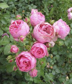~Rosa 'Pomponella' (Germany, 2005)
