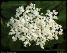 Bez černý (Sambucus nigra L. Healing Herbs, Food And Drink, Fruit, Drinks, Plants, Chata, Vegan, Health, Kitchens