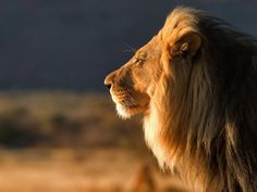 the lion in profil. a beauty <3