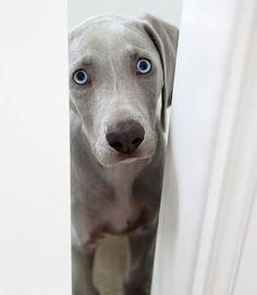 Weimaraner pup peeping around. http://ift.tt/2nCFvvd