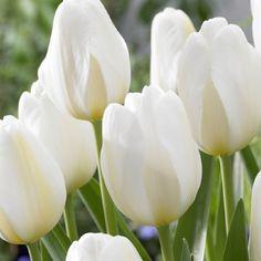 Tulip 'Angel's Wish'