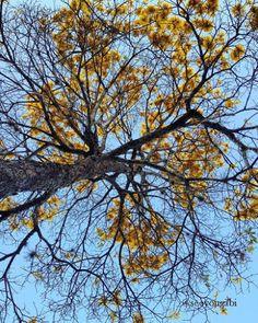 Insta: @seeyougabi #foto #fotografia #photo #tree #arvore #brasil #nature #ipe #amarelo #flor #flower #natureza #photography