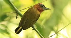 The rufous-breasted piculet (Picumnus rufiventris) is a species of bird in the Picidae family. It is found in Bolivia, Brazil, Colombia, Ecuador, and Peru. Its natural habitats are subtropical or tropical moist lowland forests and heavily degraded former forest.