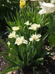 Iris Little Acorns, Planting, Iris, Beautiful Flowers, Garden Design, Plants, Landscape Designs, Bearded Iris, Yard Design