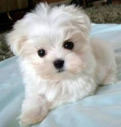 Maltese puppy- dat head tilt