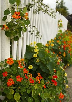 Love nasturtiums in the garden and nasturtium flowers in salads, so pretty :)