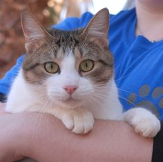 Devin is happiest in your lap, snuggling and purring.  He is a good-looking shorthair tabby & white, 1 year young and neutered, ready for adoption at Nevada SPCA (www.nevadaspca.org).  Devin also likes cats and dogs, and enjoys all of his toys.  He needed us when his previous owners moved away without him.